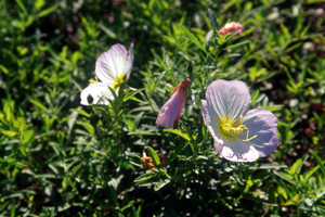 Plantes de Californie acclimatées en Provence