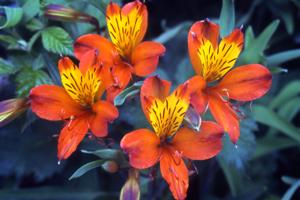 Plantes chilienne acclimatées en Provence